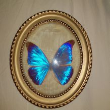 Papillon bleu naturalisé ancien cabinet curiosité