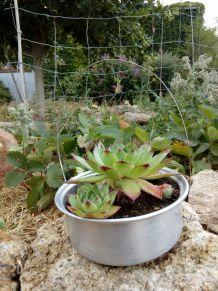 Joubarbe en casserole, création végétale par recyclage, détournement, décoration de table, de jardin, de terrasse